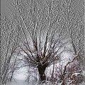 Magiczna wierzba #drzewo #wierzba #zima